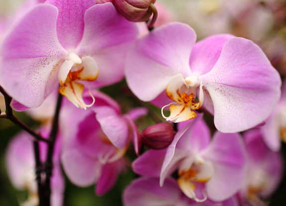 light-purple-orchids-in-greenhouse-up-close