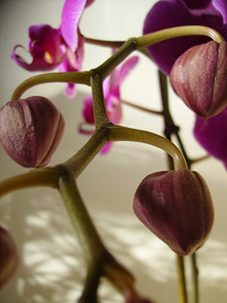 Encourage orchid reblooming