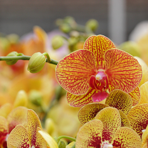 When Do Orchids Rebloom? (And Other Common Reblooming Questions)