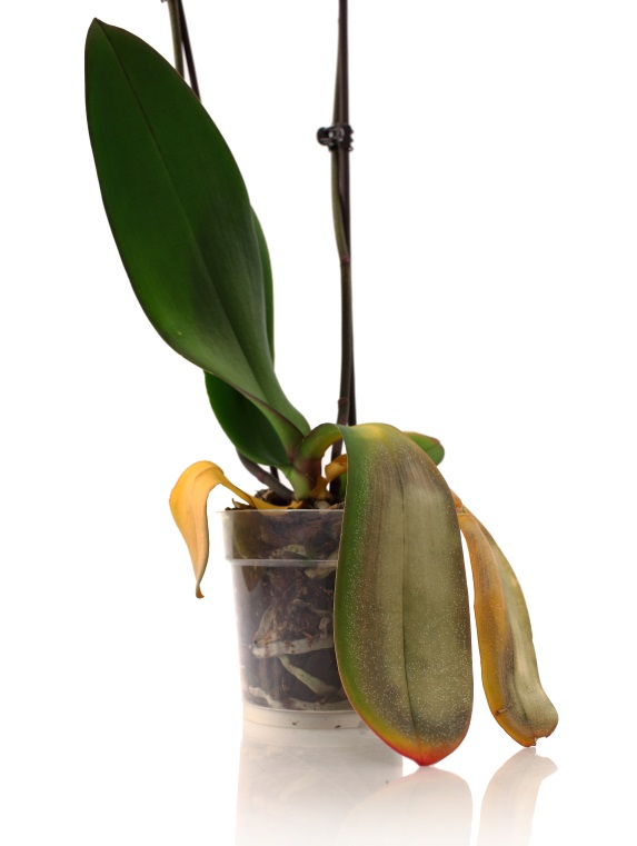 4 signs your phalaenopsis orchid is dead it 39 s time to buy another - Tell tree dying order save ...