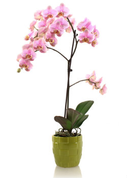 are you giving your phalaenopsis orchid too much or too little water. Black Bedroom Furniture Sets. Home Design Ideas