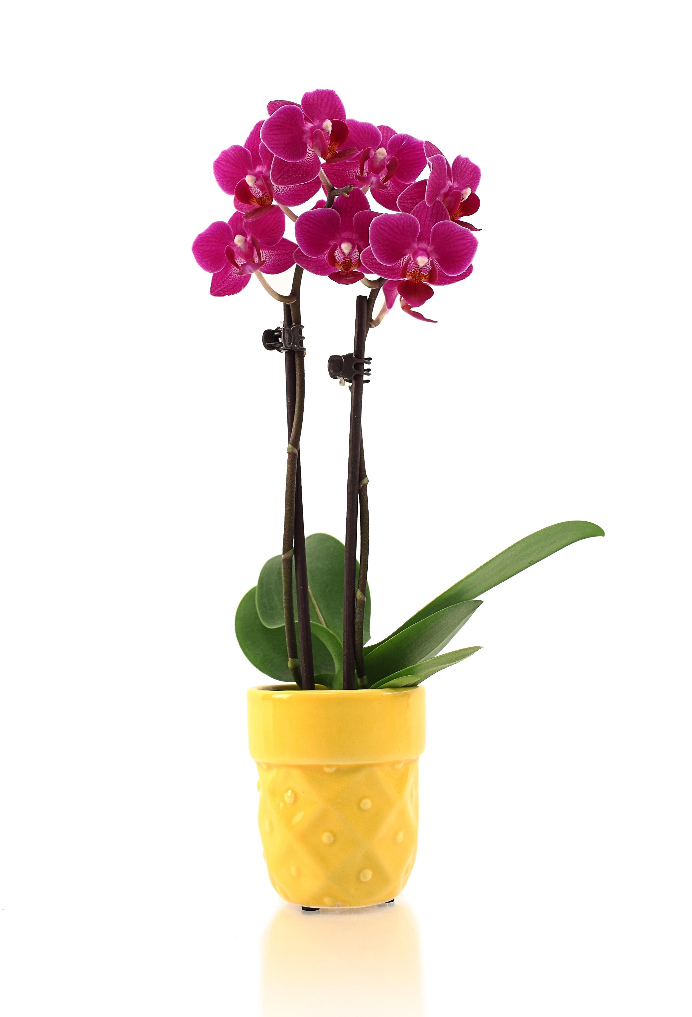 Watering Orchid Minis Orchid Care Just Add Ice Orchids