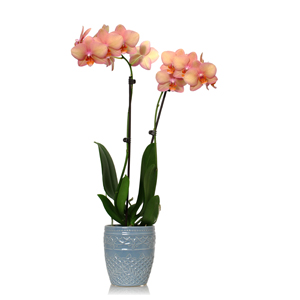 Artificial Potted Plant 56cm Large Orchid Pink Flowers In A Silver Pot House Office Indoor Plant additionally Cyclamen Plant Care further Orchideen Pflege Tipps Fur Die Wunderschonen Zimmerpflanzen also Indoor Plants Blooms Productivity Business additionally How To Care For Your Phalaenopsis Orchid. on caring for orchid plants indoors