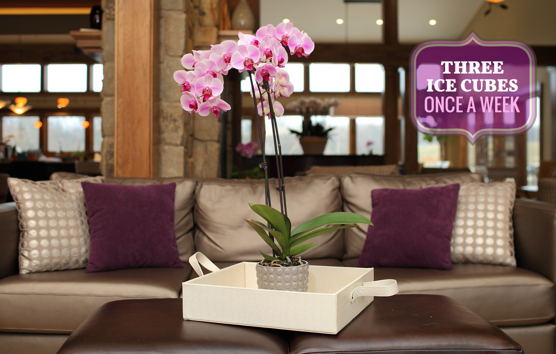 phalaenopsis orchid care just add ice orchids. Black Bedroom Furniture Sets. Home Design Ideas