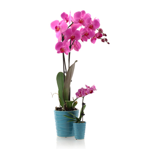 Orchid Care FAQs