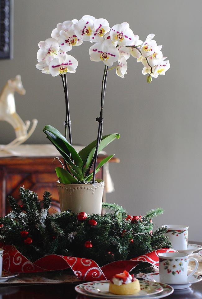 Dressing up your orchids for the holidays Christmas orchid arrangements