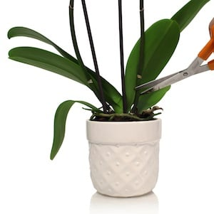 Orchid Not Reblooming For Years furthermore Attila the cat furthermore Phalaenopsis Orchid Arrangement Ideas furthermore Qa Why Do Orchids Get Split Leaves 3 likewise Watch. on reblooming orchids
