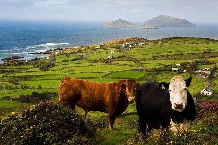 ireland and UK cows