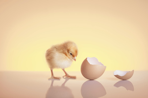 new-hatched-chick-chicken-egg