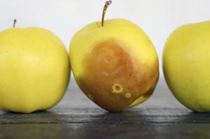 rotting-fruit