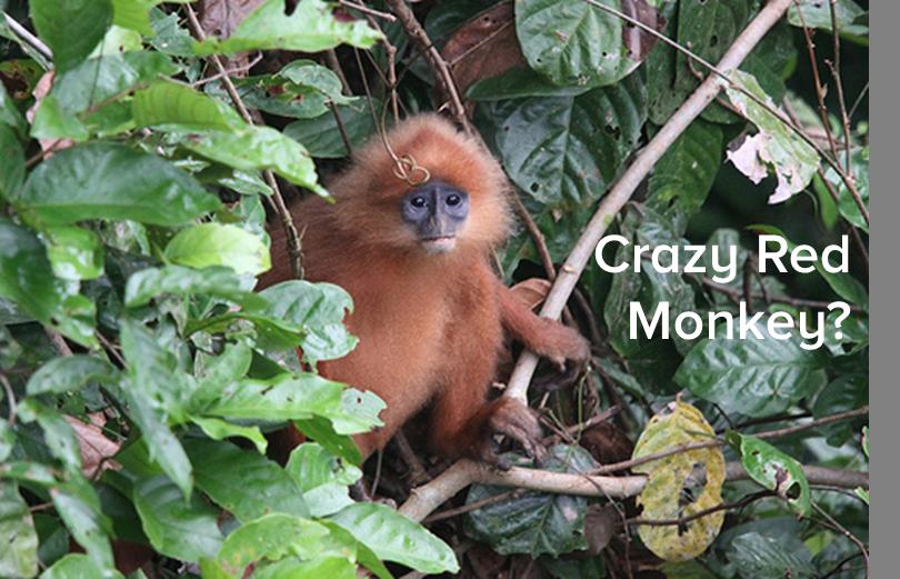 crazy-red-monkey-2.jpg