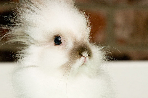 fluffy-white-bunny-aw