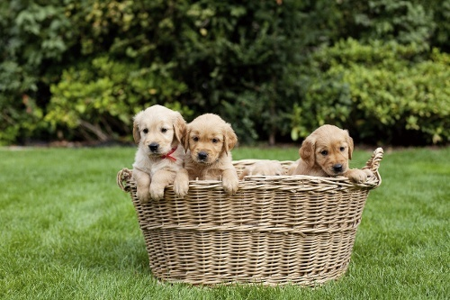 puppies playing in basket.jpg?t=1529730594415&width=500&height=333&name=puppies playing in basket Blog SEO İpuçları Blog İçeriği Optimizasyonu