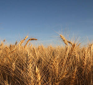 Wheat from the Golden Triangle of Montana