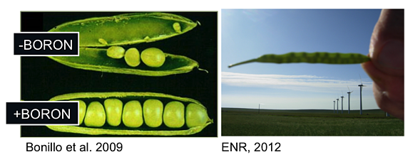 Boron_deficiency_in_Peas_and_Canola