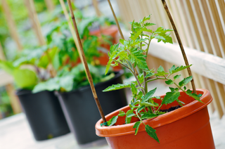 tomato__plants_in_containers_on_patio.png