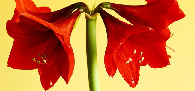 Planting Amaryllis Bulbs In Three Easy Steps