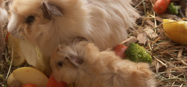 Why Guinea Pigs Make Wonderful First Pets