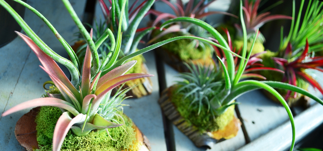 Air Plants: the Perfect Gift for the Neat Freak in your Life