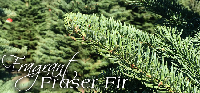 Holiday Tree Guide: Fraser Firs
