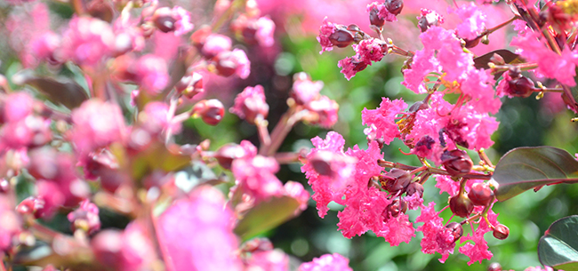 Tips for Growing and Maintaining Beautiful Crapemyrtle