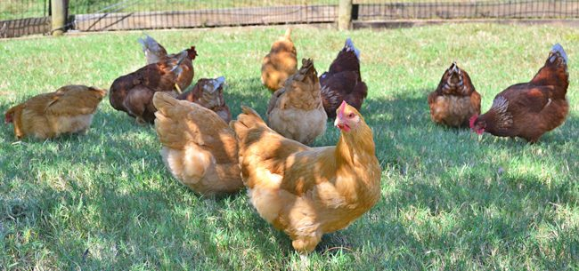 Raising Backyard Chickens: Note on Biosecurity