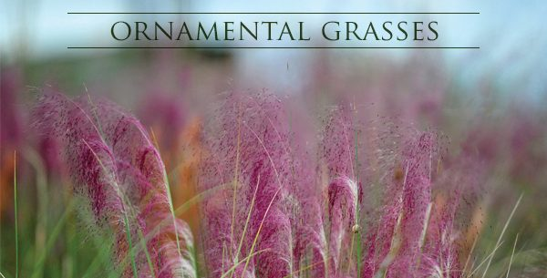 Ornamental Grasses - A Bold and Romantic Garden Look