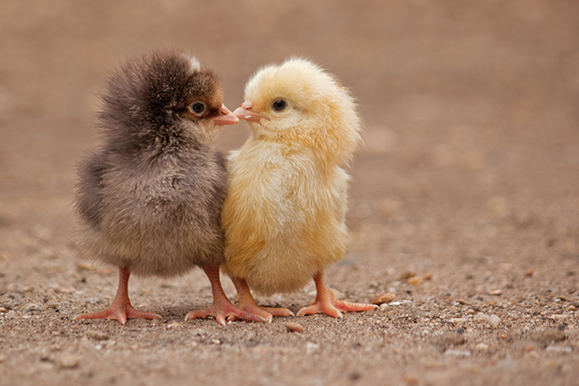 Chicks on the Loose