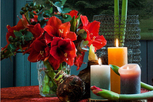 Forced Amaryllis and Paperwhites for the Holidays
