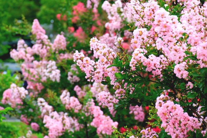Your Complete Guide to our Annual Crape Myrtle Festival