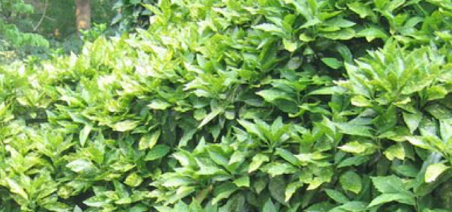 Drought-Tolerant Shrubs and Woody Groundcovers