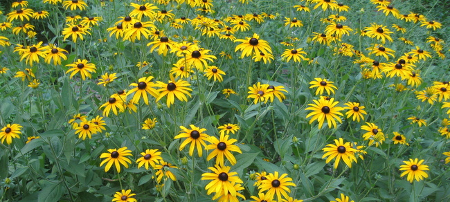 Plant of the Month: Black-Eyed Susans