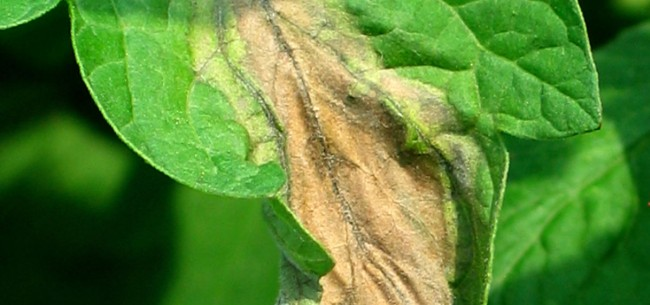 Late Blight on Tomato Plants