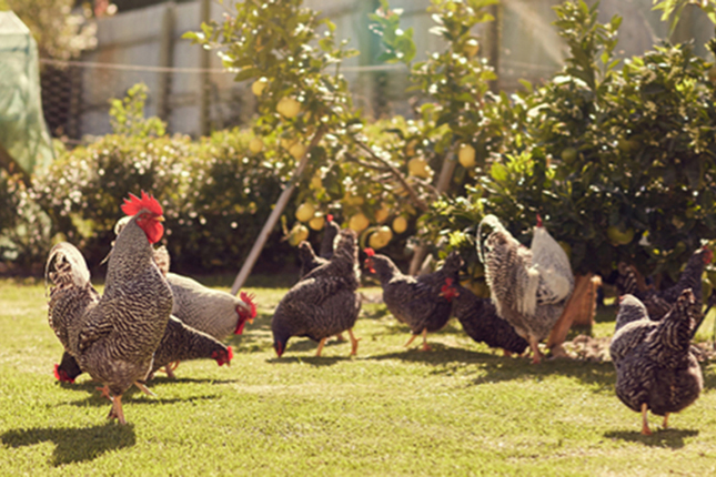 8 Items You Can Provide to Keep Your Chickens Happy