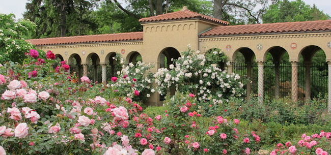 Roses at the Franciscan Monastery