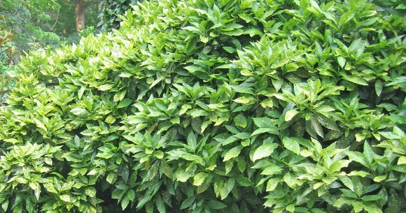 Try a New Shrub this Season