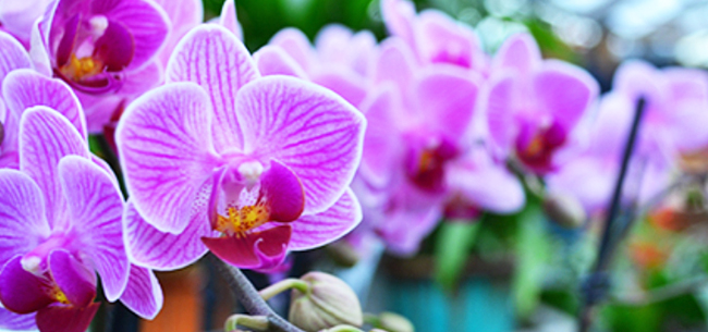 Give an Orchid for Valentine's Day