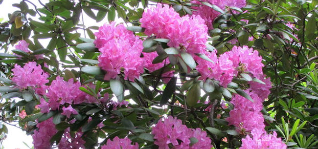 Time to Prune Your Rhododendrons, and Maybe Plant Some More