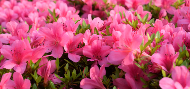 It's Azalea-Pruning Time