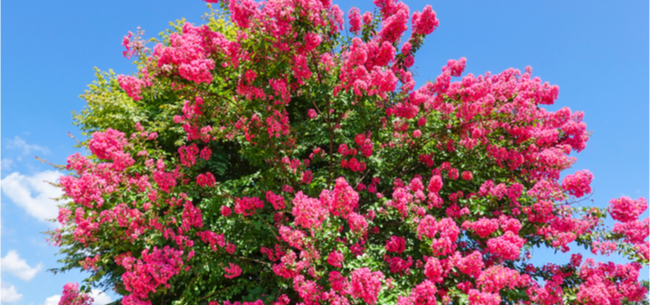 Crapemyrtles 101 with Gene Sumi