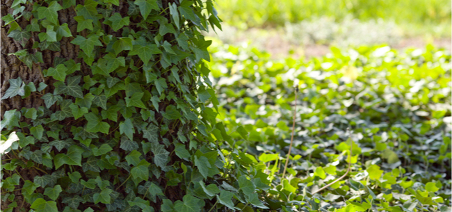 Removing Ivy From Trees Is Easier Than You Think