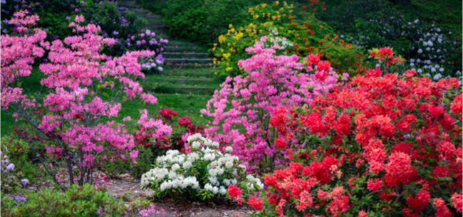 Time To Prune Your Old Azaleas