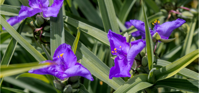 How to Divide Spiderworts (And Other Perennials)