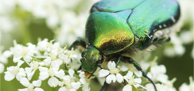 Not Quite a Japanese Beetle: The Green June Bug