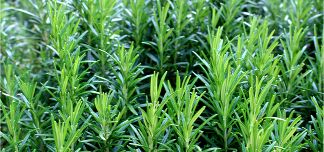 How Cold-Hardy is Rosemary?