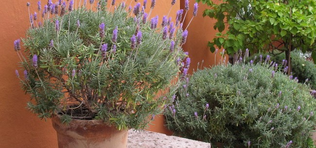Urban Gardening, with Dry-Loving Perennials in Containers!