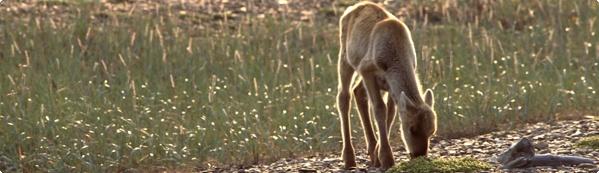 wwf-caribou.jpg