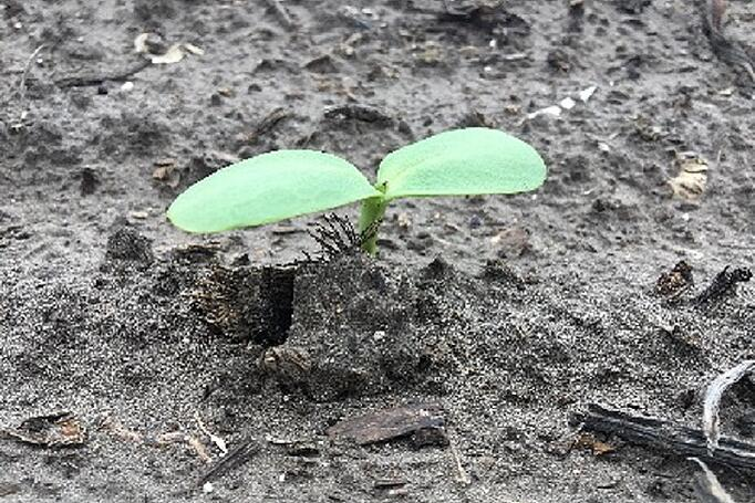 Sunflower in VE stage with cotyledons