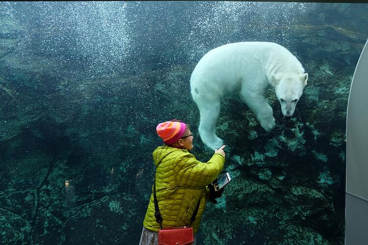 Polar bear under water at the Assiniboine Park Zoo, Journey to Churchill.