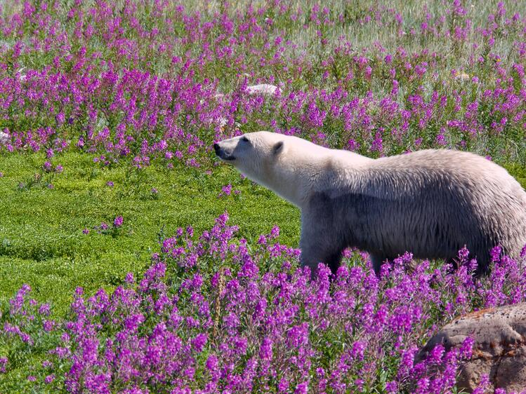 Polar bear in fireweed in Churchill, Manitoba.